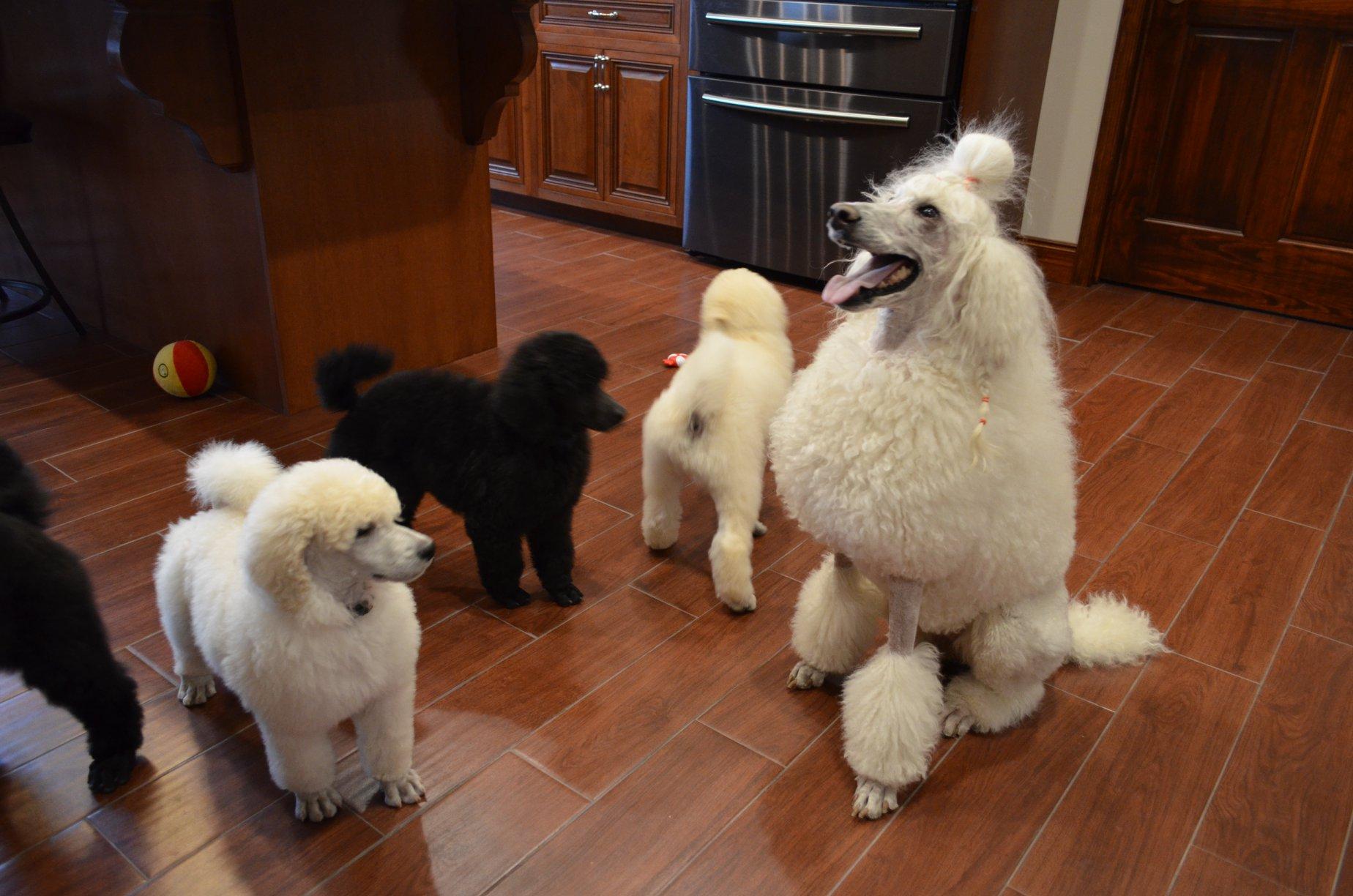 D and D Standard Poodles